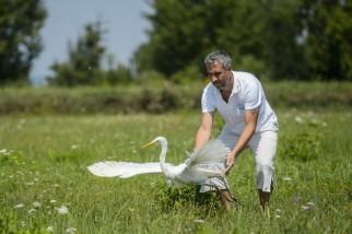 Mályi, 2017. augusztus 1. Lehoczky Krisztián, a Mályi Természetvédelmi Egyesület elnöke, a mályi madármentõ állomás vezetõje egy felgyógyult nagy kócsagot (Ardea alba) enged szabadon Mályi határában 2017. július 31-én. Az egyesület madármentõ állomása mentési és tanácsadási céllal mûködik, munkatársai a település 30-40 kilométeres körzetében segítenek a rászoruló madarakon és kisemlõsökön. MTI Fotó: Komka Péter