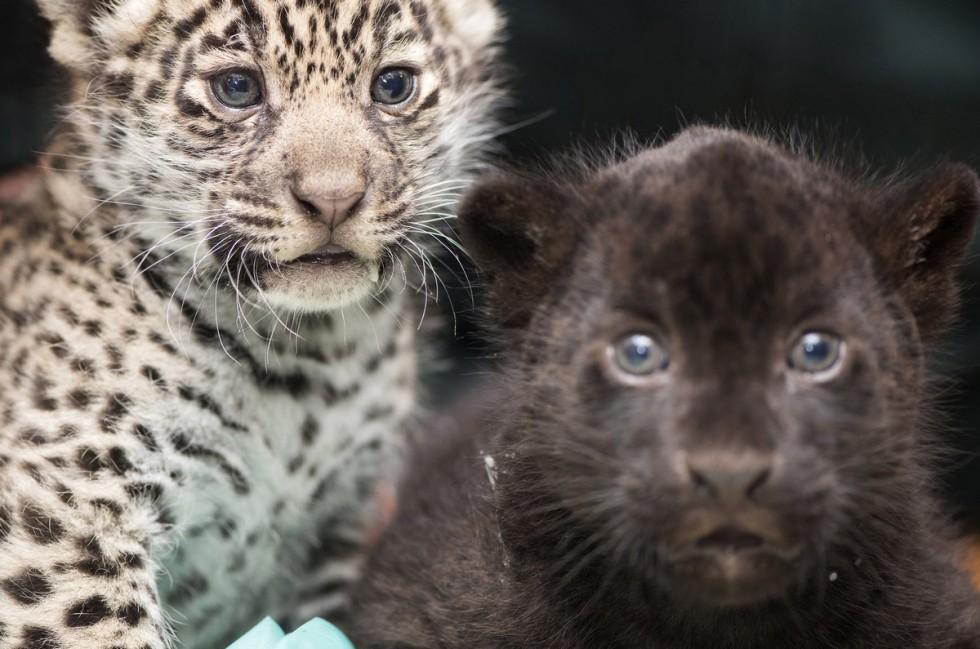 Bemutatták a Nyíregyházi Állatpark egyhónapos jaguárikreit
