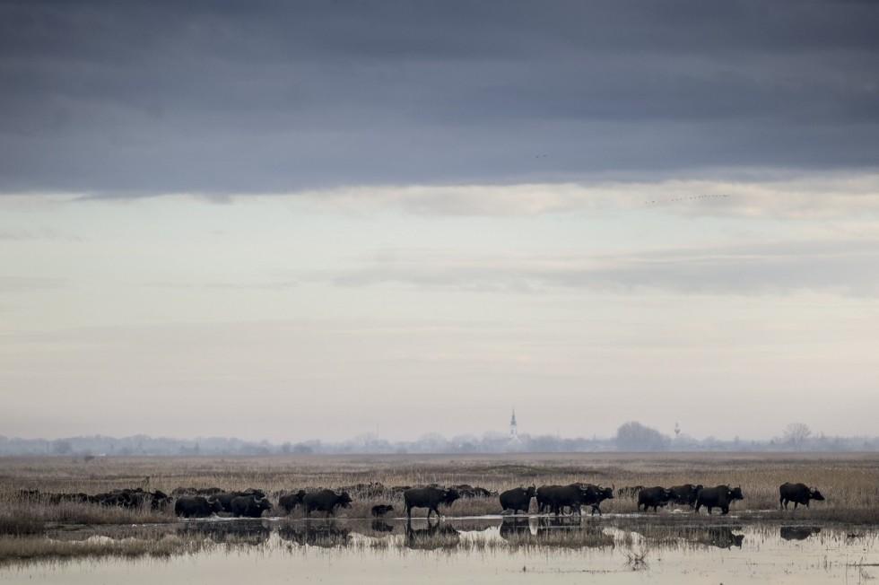 Az állattartó telepre hajtották a bivalyokat a Kiskunsági Ne