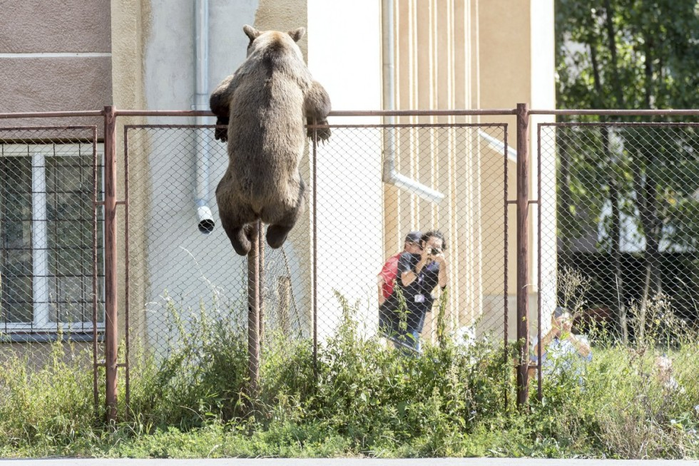 Medvét lõttek ki egy csíkszeredai iskola udvarán