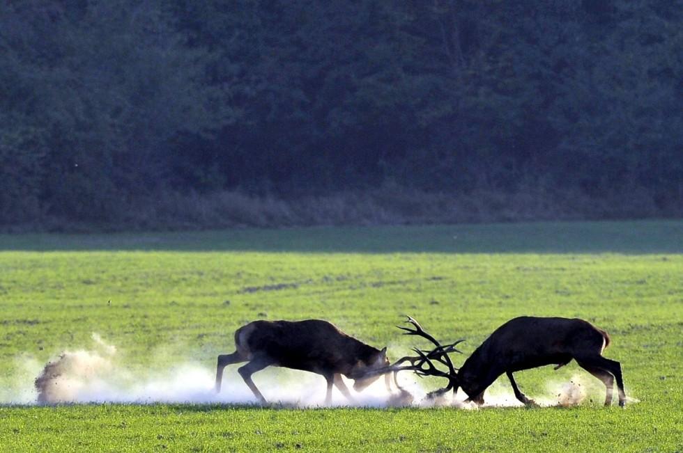 Bőgő gímszarvas bika (Cervus elaphus) szarvasbőgés idején a SEFAG Zrt. Barcsi Erdészetének területén 2018. szeptember 17-én.
