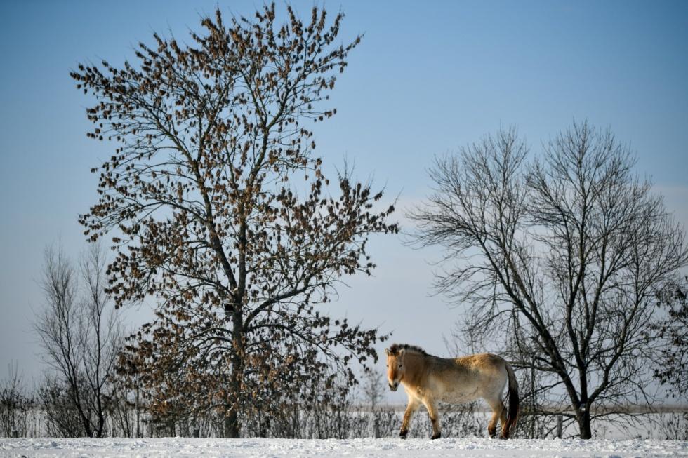 Ázsiai vadlovak a Hortobágyi Nemzeti Parkban